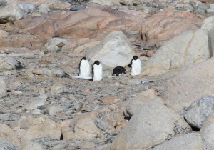 Penguins in repose